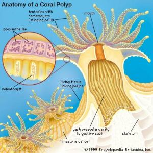 "This diagram of a single coral's anatomy shows the exoskeleton (labeled here as ""skeleton"") that forms the reef's backbone and the ""zooxanthellae,"" the algae-like organism that, when expelled under thermal stress, leads to coral bleaching. [Credit: Encyclopedia Britannica, Inc]"