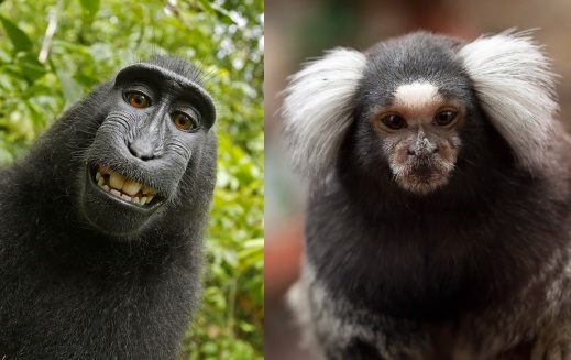 A macaque (left) and a marmoset.